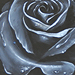 Tattoos - Rose Study - 34860